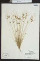 Bulbostylis stenophylla image