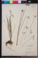 Callisia ornata image