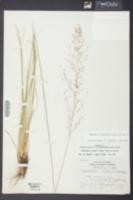 Image of Sporobolus pinetorum