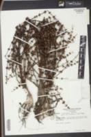 Ammannia coccinea image