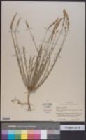 Polygala alba image