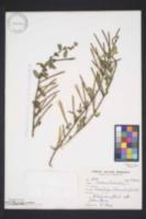 Image of Corchorus trilocularis