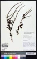 Image of Stachytarpheta polyura