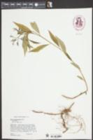 Amsonia tabernaemontana image