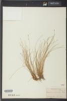 Eleocharis ochreata image