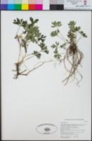 Image of Viola sheltonii