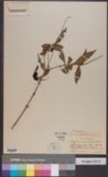 Image of Gonzalagunia spicata