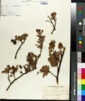 Image of Osteomeles anthyllidifolia