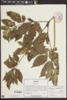 Angelica sylvestris image