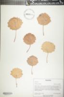 Image of Populus tremula