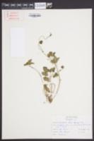 Duchesnea indica image