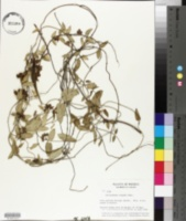 Image of Funastrum elegans