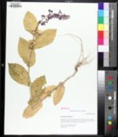 Image of Streptanthus obtusifolius
