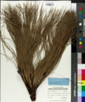 Image of Pinus michoacana