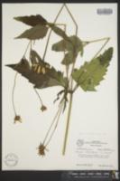 Heliopsis helianthoides var. helianthoides image