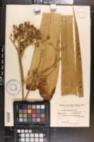 Image of Eryngium chamissonis