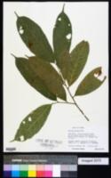 Image of Sorocea affinis