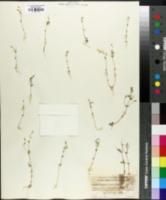 Image of Linanthus ambiguus