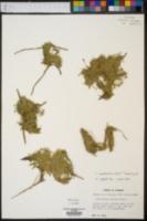 Callitriche pedunculosa image