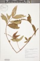 Image of Gonzalagunia rosea