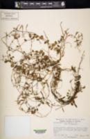 Image of Microgramma tecta