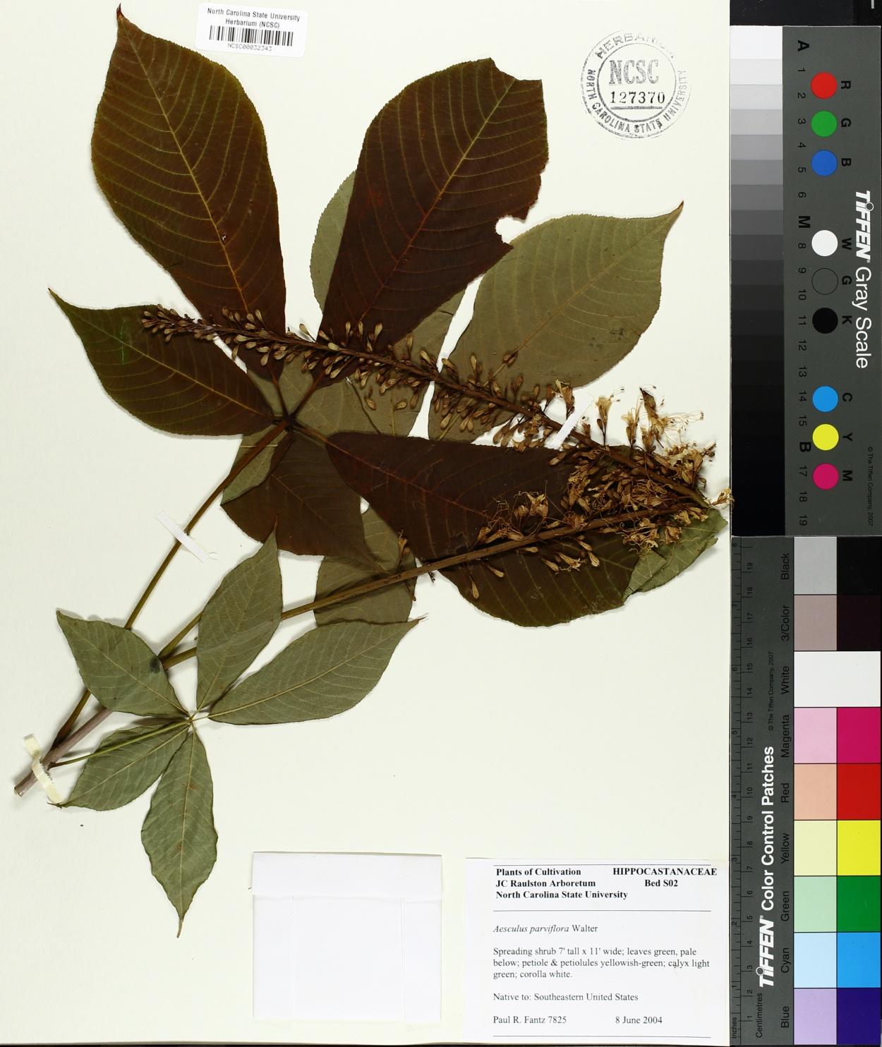 Hippocastanaceae image