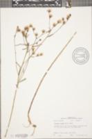 Image of Vernonia texana