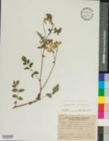 Image of Solanum peruvianum