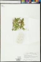Selaginella apus image