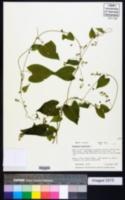 Fallopia convolvulus image