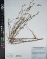 Clarkia epilobioides image