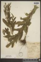 Verbena hastata image