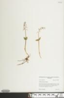 Image of Listera australis