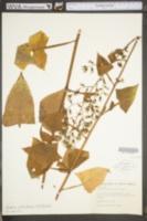Lactuca floridana image