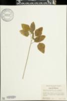 Aegopodium podagraria var. variegatum image