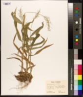Panicum polyanthes image