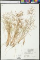 Image of Cyperus autumnalis