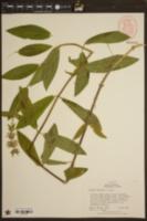 Stachys eplingii image