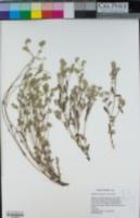 Cryptantha torreyana image