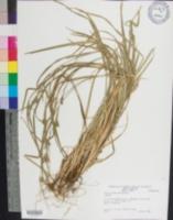 Carex grisea image