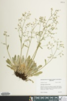 Image of Saxifraga michauxii