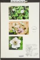 Image of Rubus bicknellii