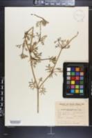 Eryngium divaricatum image