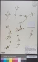 Collinsia parviflora image