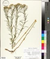 Euthamia hirtipes image