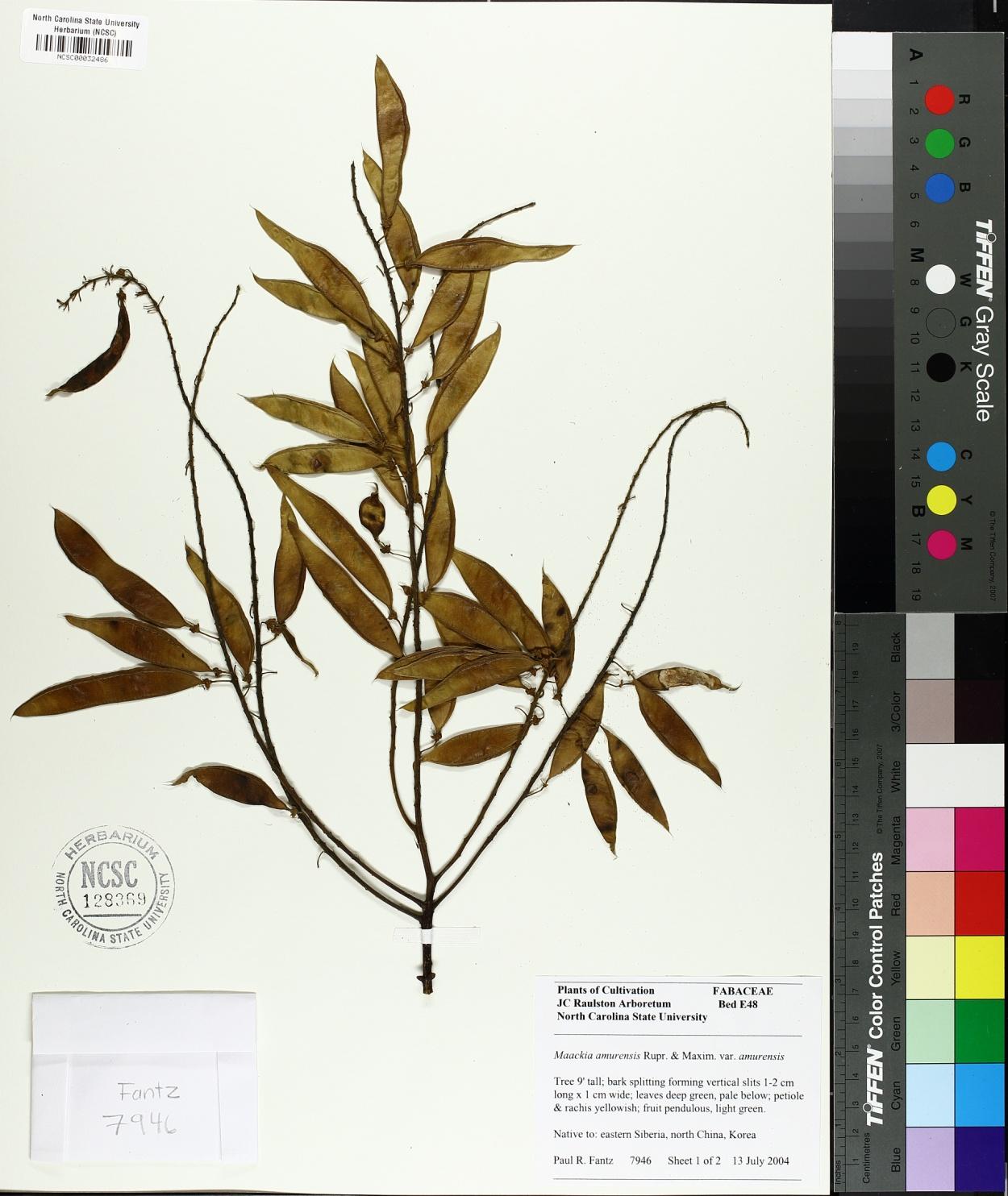 Maackia amurensis image
