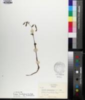 Triphora trianthophora image