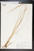 Aristida patula image