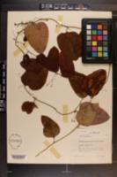 Smilax glauca image