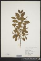 Ligustrum vulgare image